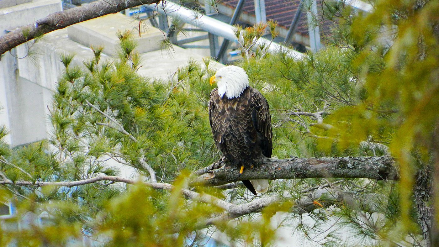 A bald eagle perched near Lock and Dam No. 6 in 2015