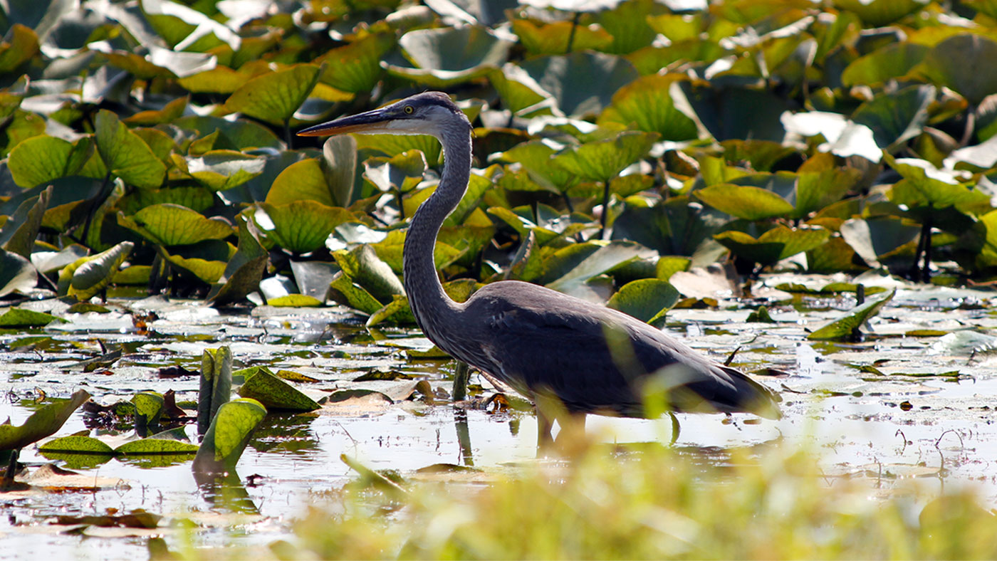 Blue heron at Long Lake in the Indiana Dunes National Park in 2013