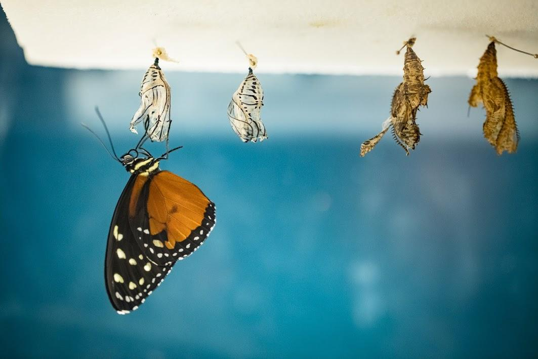 A butterfly emerges from its chrysalis.