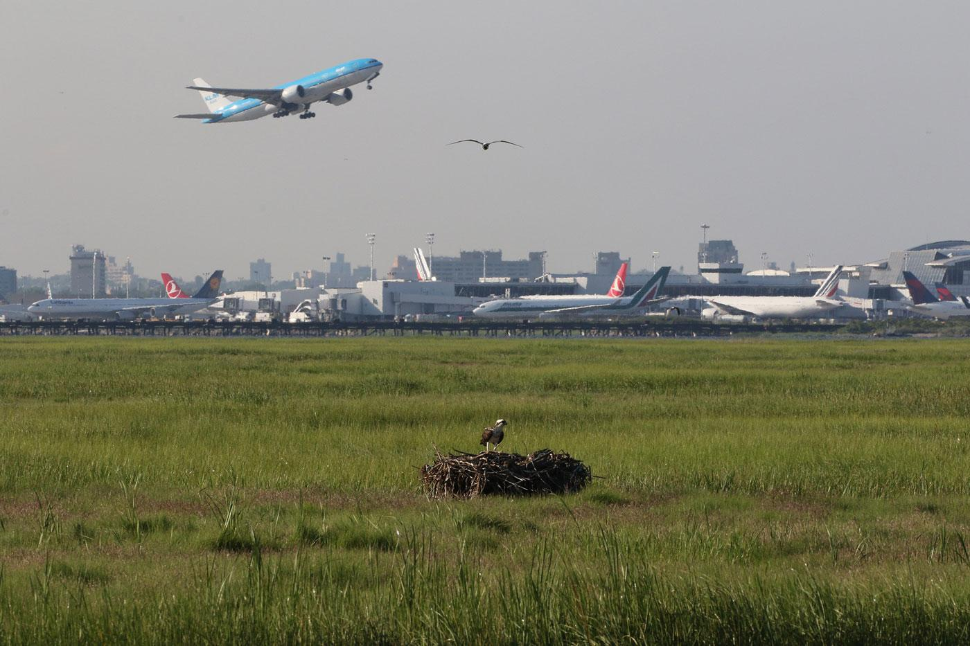 A nesting osprey shares the sky with planes from New York City's John F. Kennedy Airport. (Don Riepe / American Littoral Society)