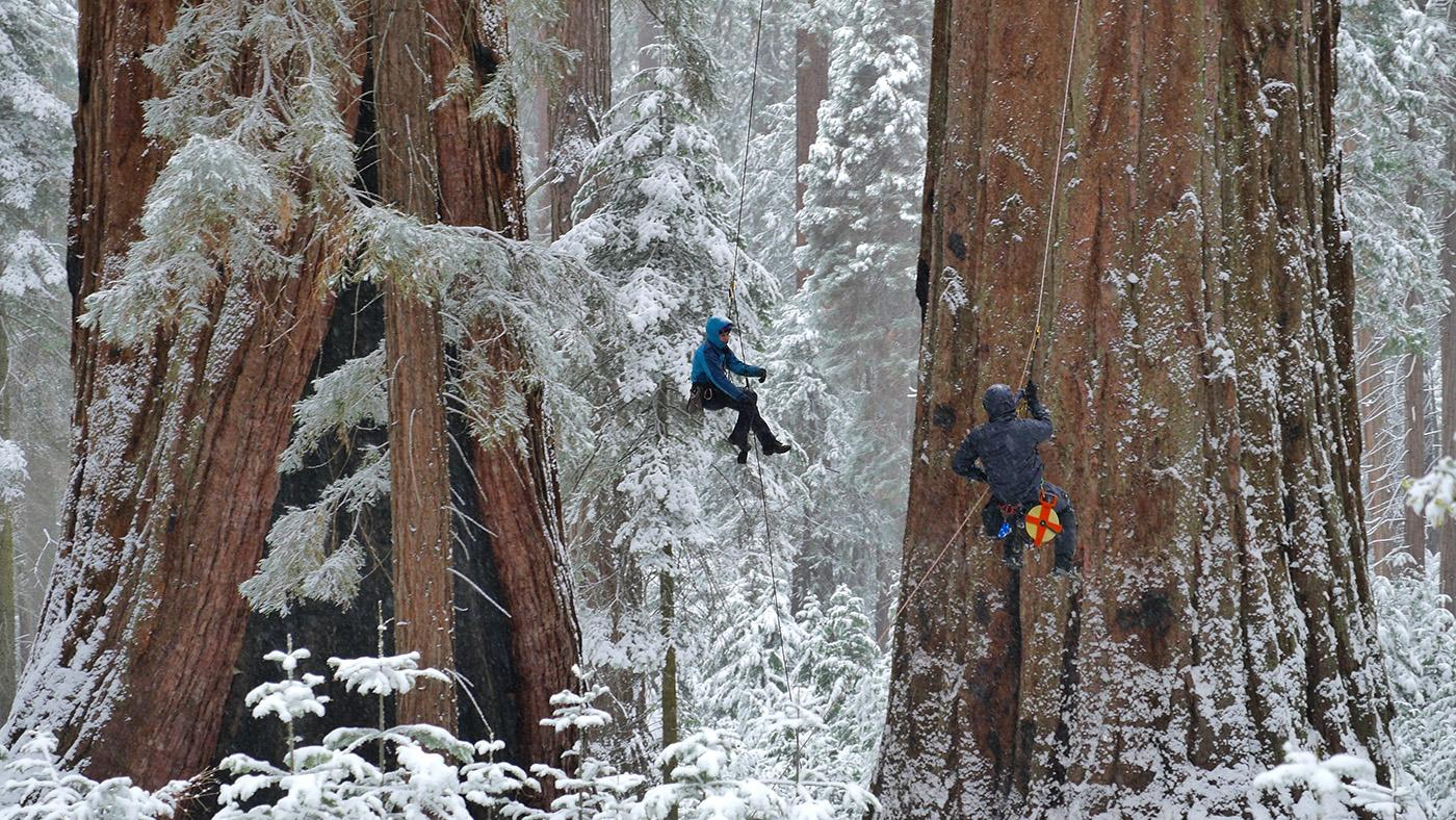 Researchers measure a giant sequoia in Whitaker's Forest, California. (Courtesy of Nimmida Pontecorvo/© THIRTEEN Productions LLC)