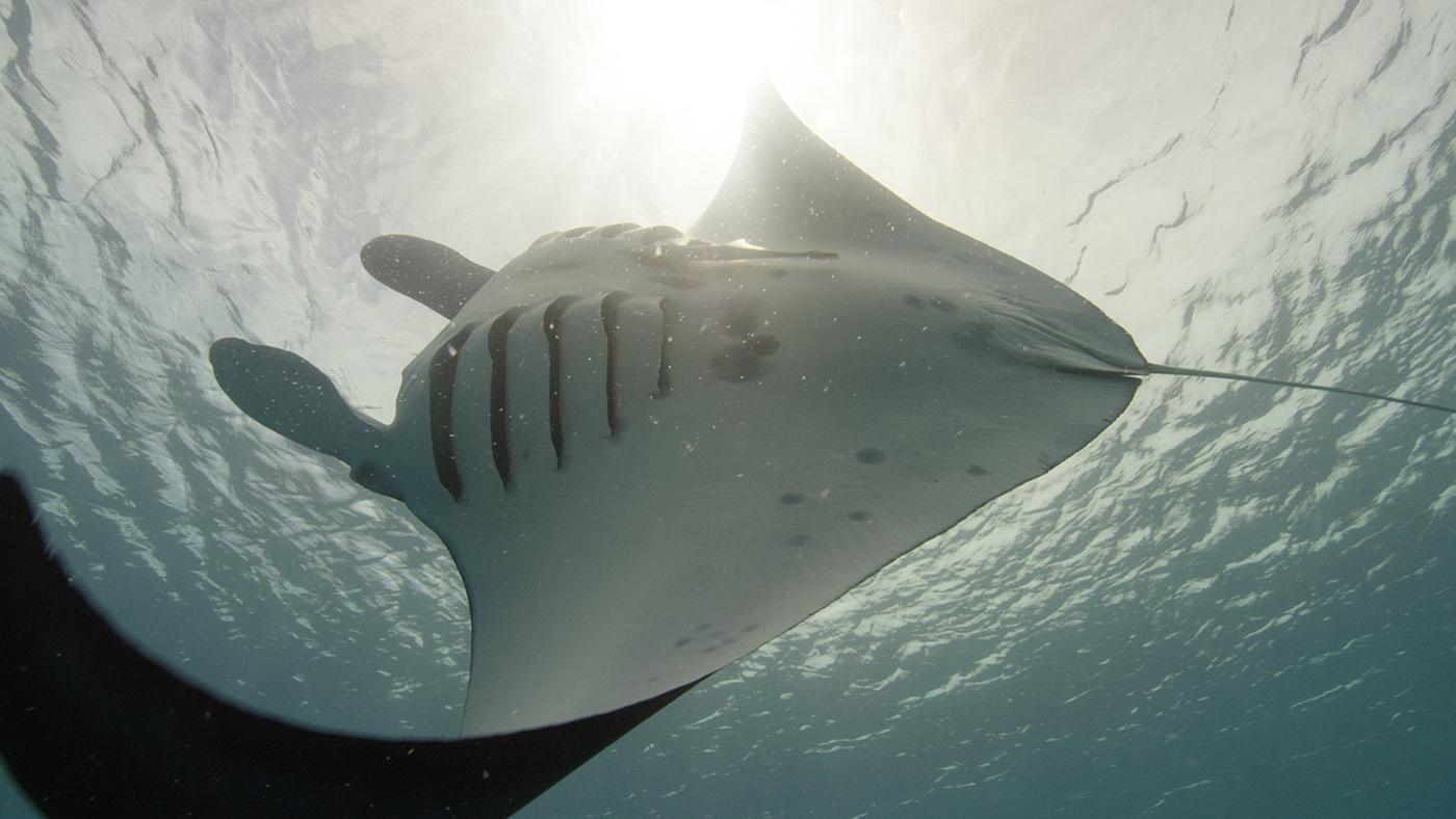 A giant manta in Micronesia, in PBS's Big Pacific. Photo: Ernie Kovacs/NHNZ