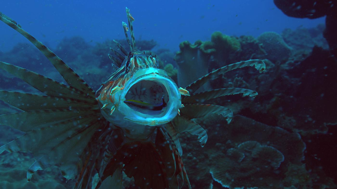Bluestreak wrasse cleaning lionfish mouth at Kenting, Taiwan. Photo: Scott Snider/NHNZ