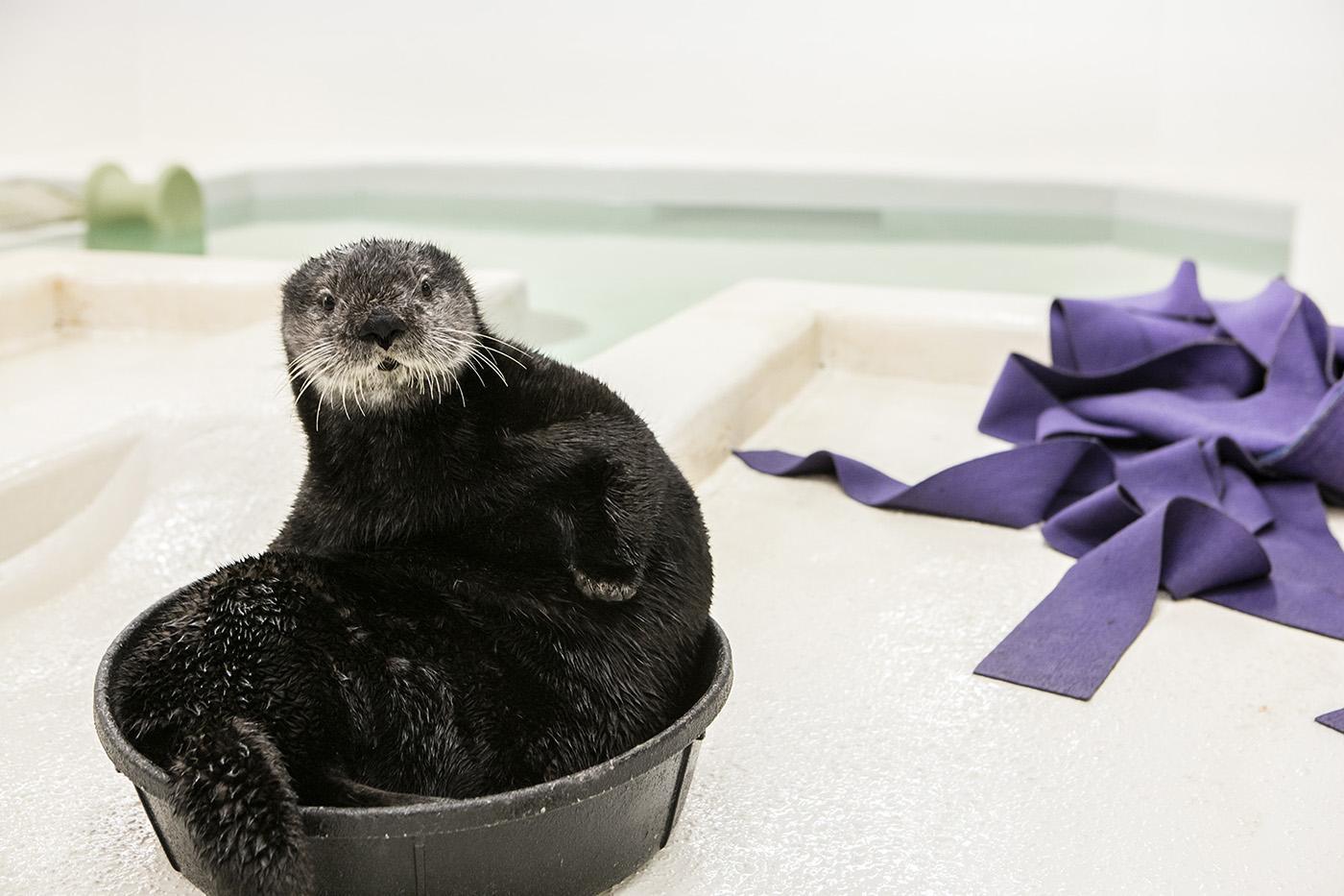 Luna, a rescued sea otter pup at Shedd Aquarium. Photo: ©Shedd Aquarium