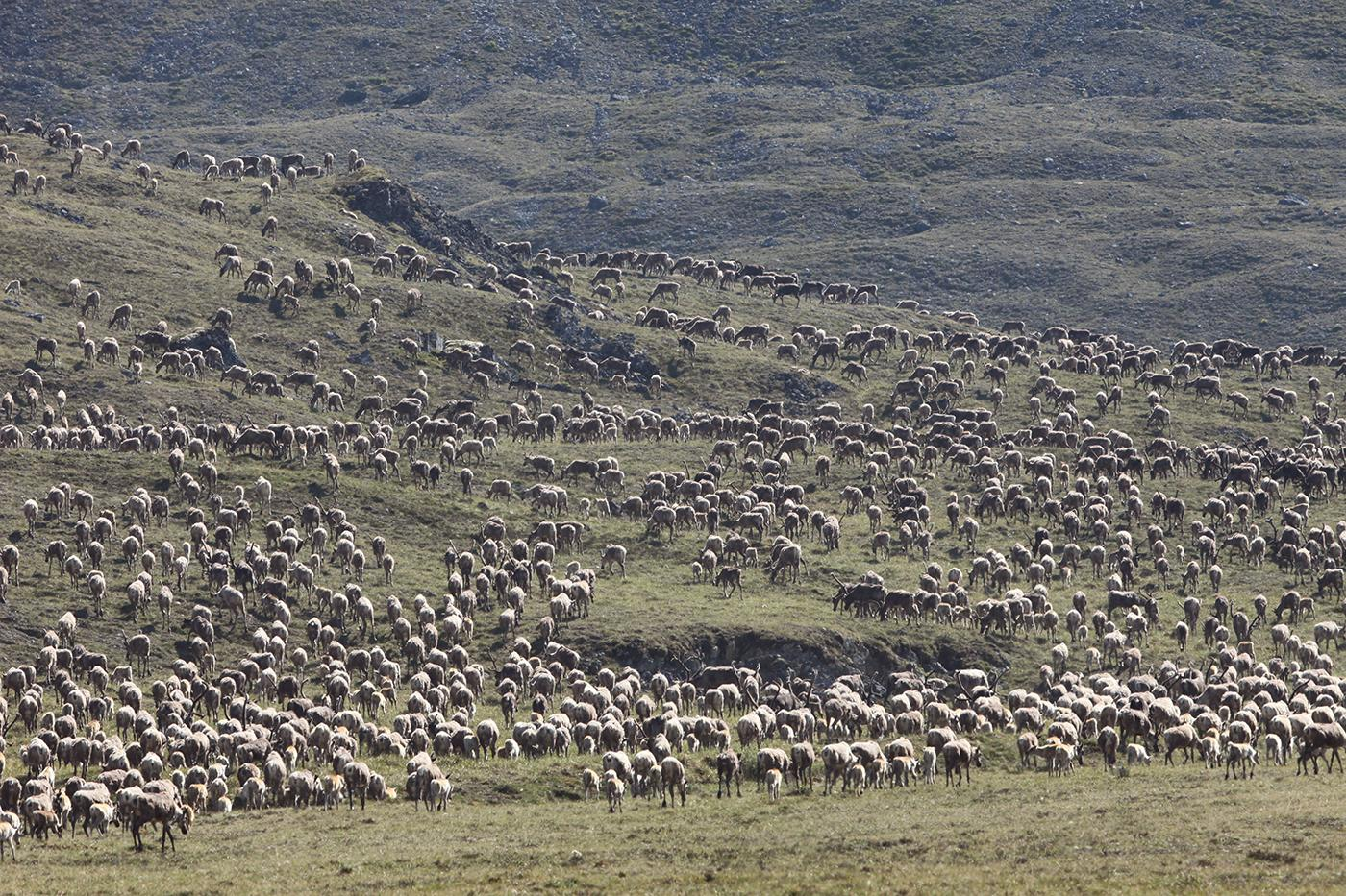 Thousands of Porcupine Herd caribou during the annual aggregation event in the Arctic National Wildlife Refuge, Alaska. Photo: Max Hug Williams