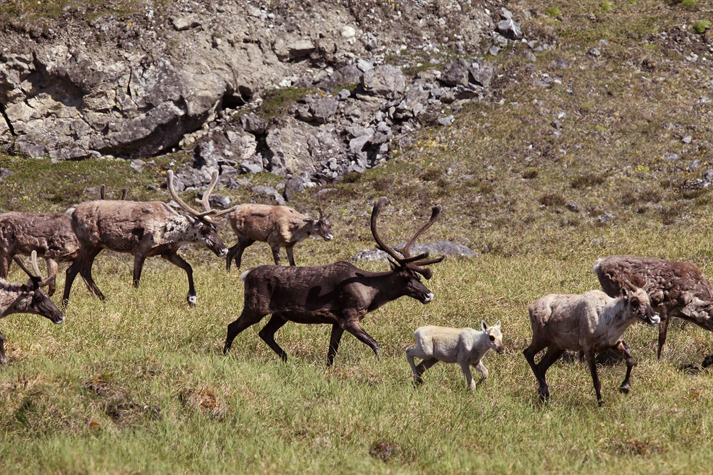 Porcupine Caribou Herd bulls come together with cows and their calves during the annual aggregation event in the Arctic National Wildlife Refuge, Alaska. Photo: Max Hug Williams