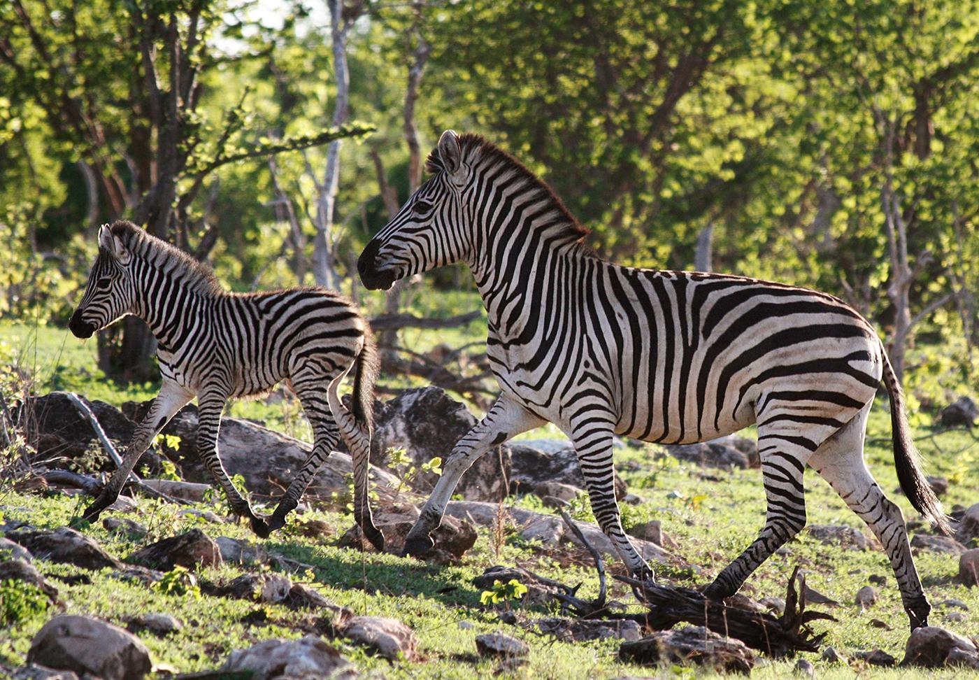 A zebra mare and her foal run through the woods in Chobe National Park, Botswana. Photo: BBC/Robert Morgan