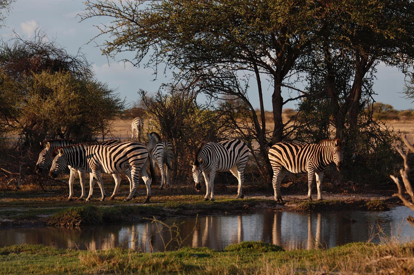 Migratory zebra stop for a drink at a pool of water in Nxai Pan National, Botswana. Photo: BBC/Robert Morgan