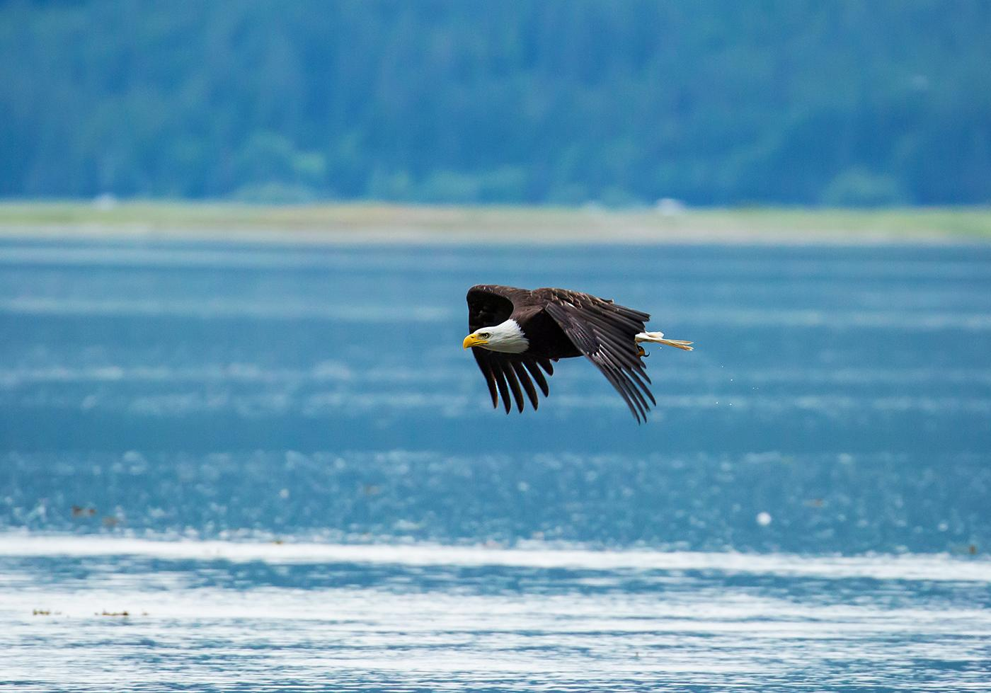 A bald eagle in flight in Alaska. Photo: Chris Kidd.
