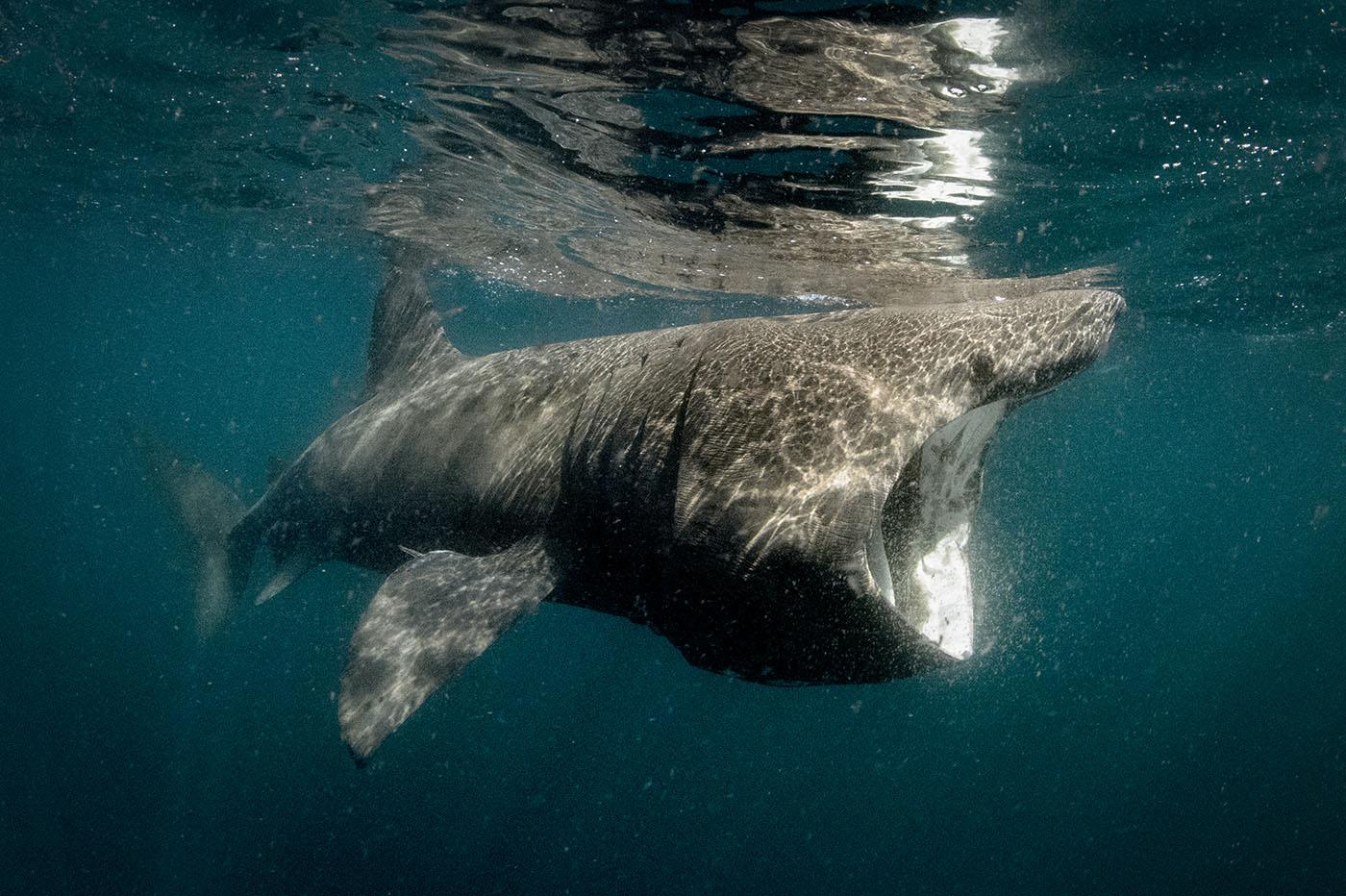 A basking shark, the second largest fish in the world. Photo: George Karbus