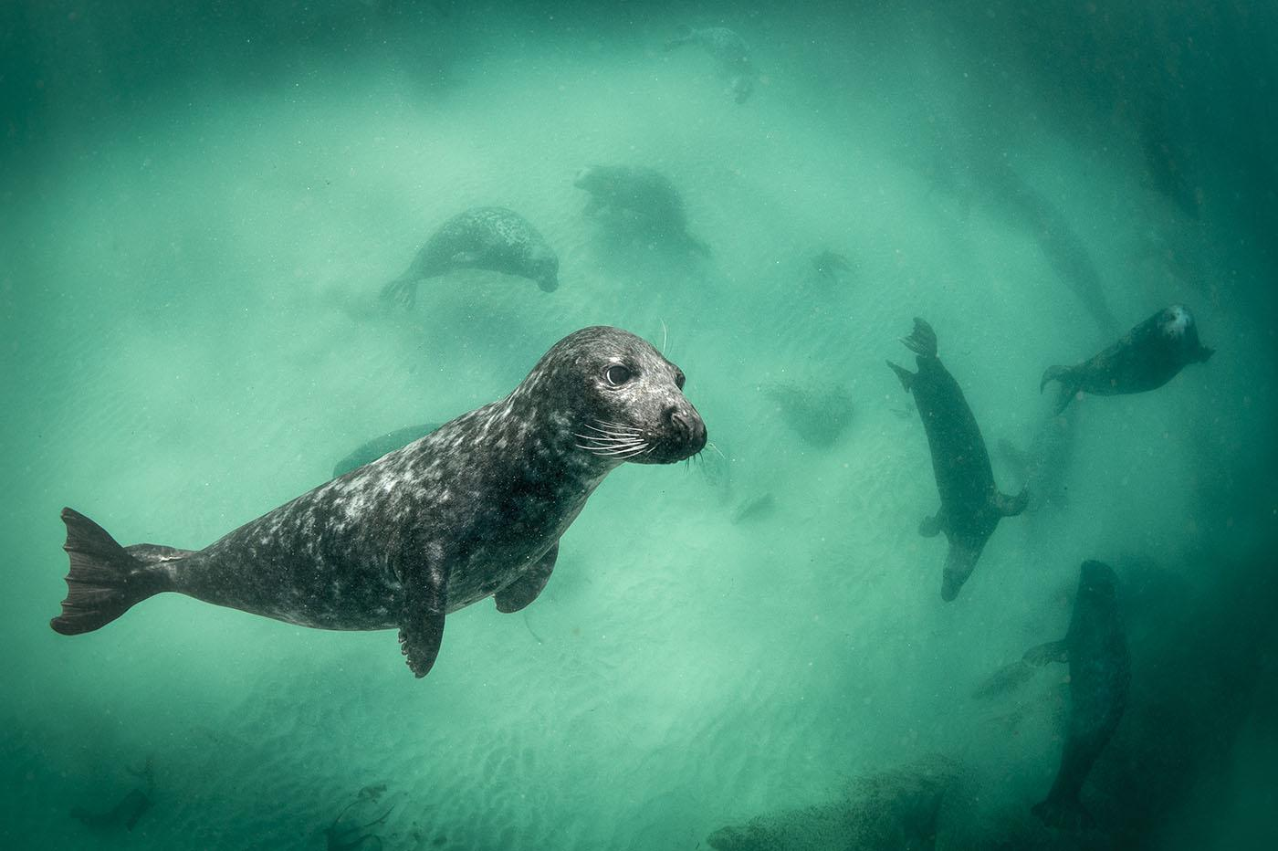 A grey seal amongst its compatriots. Photo: George Karbus