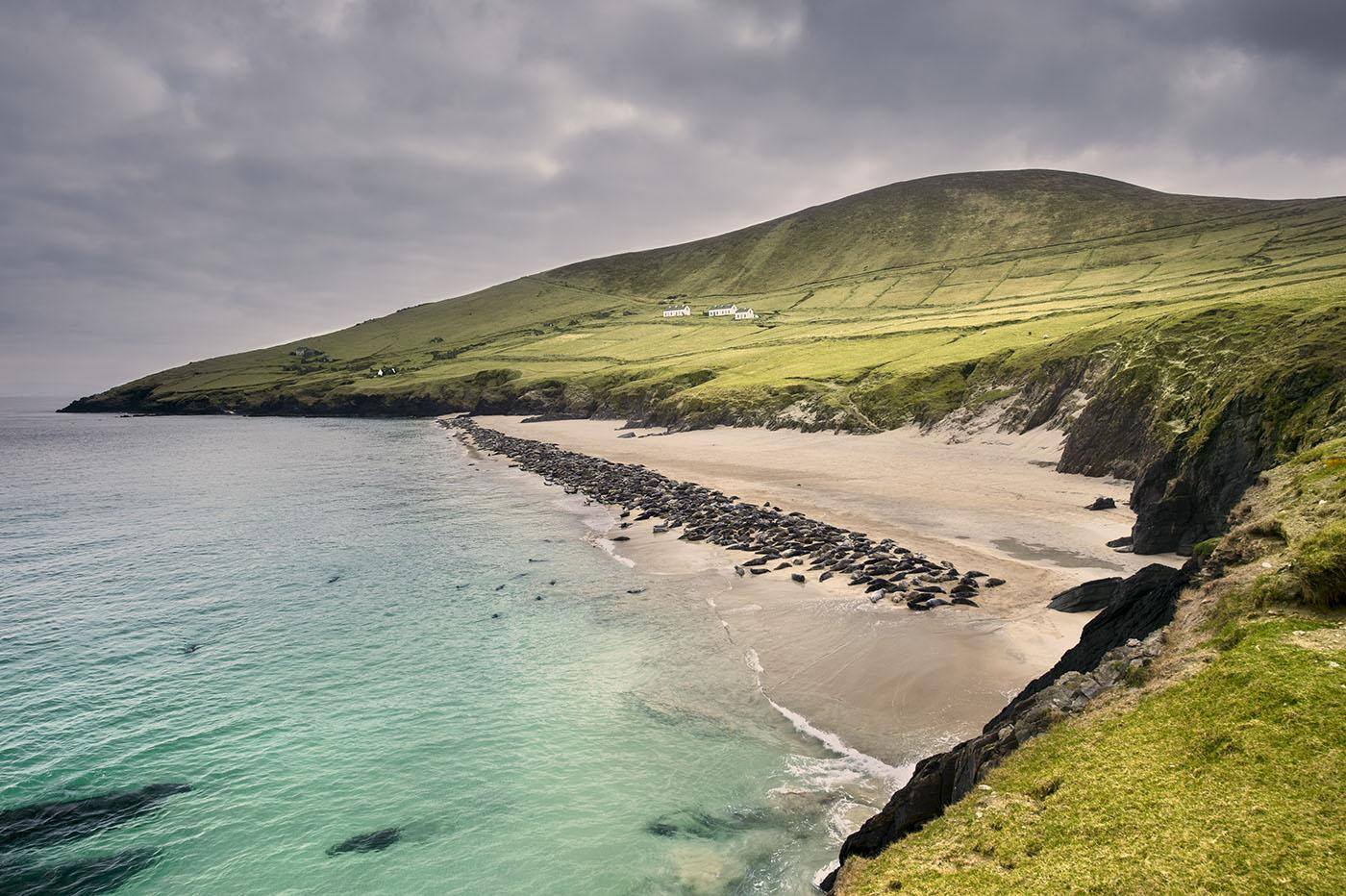 A basking colony of grey seals on one of the Blasket Islands. Photo: George Karbus
