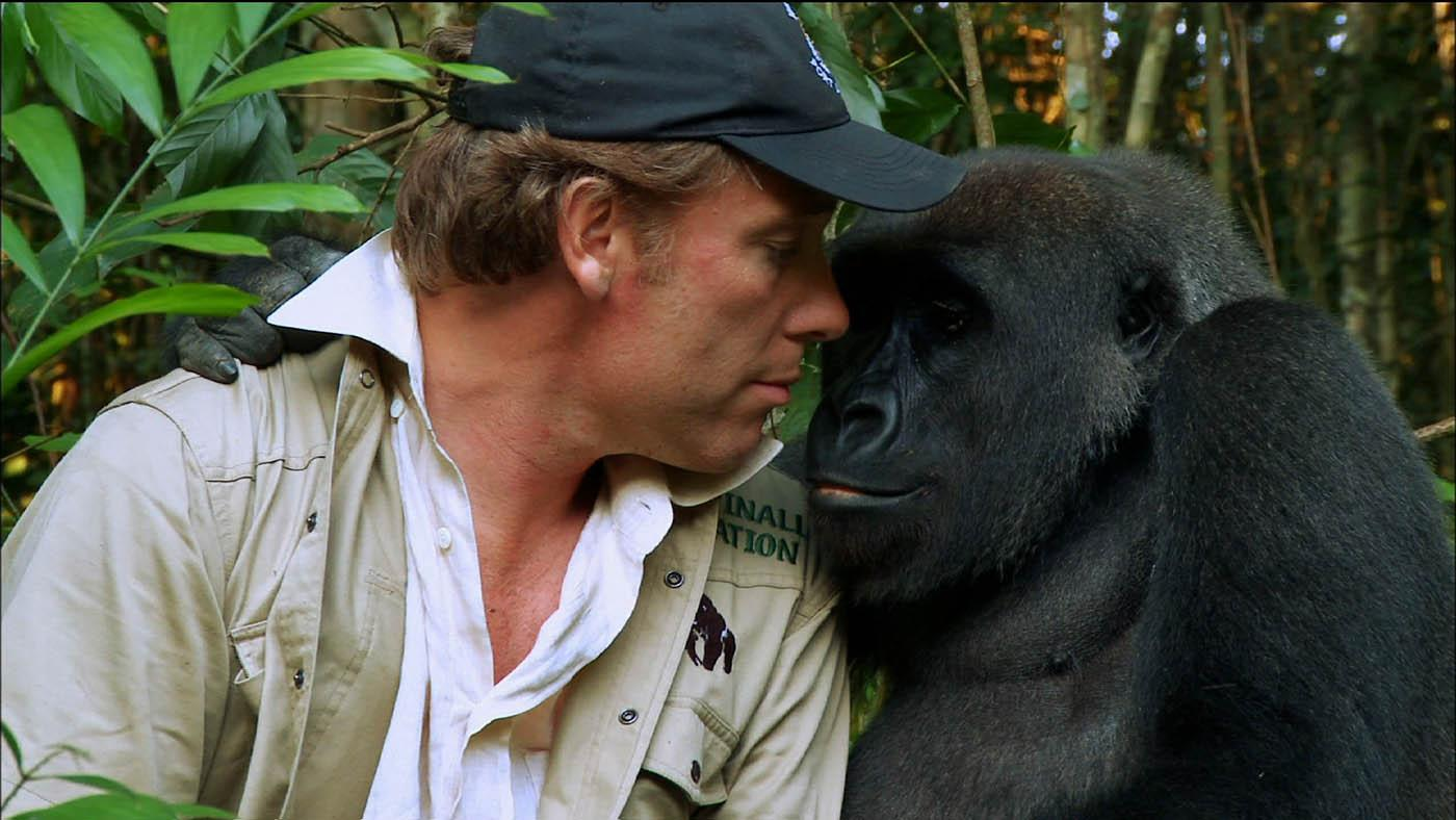 Damian Aspinall with the gorilla Kwibi. Photo: Tigress Productions
