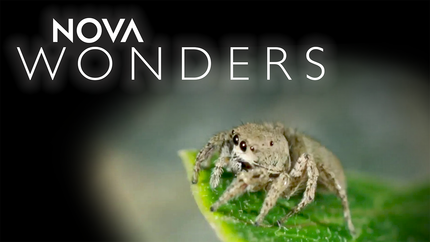 A jumping spider in Nova Wonders. Photo: WGBH Educational Foundation