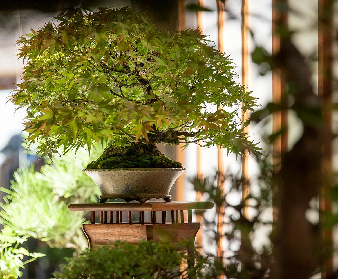 Telling A Story Of A Tree S Life Through Bonsai Wttw Chicago