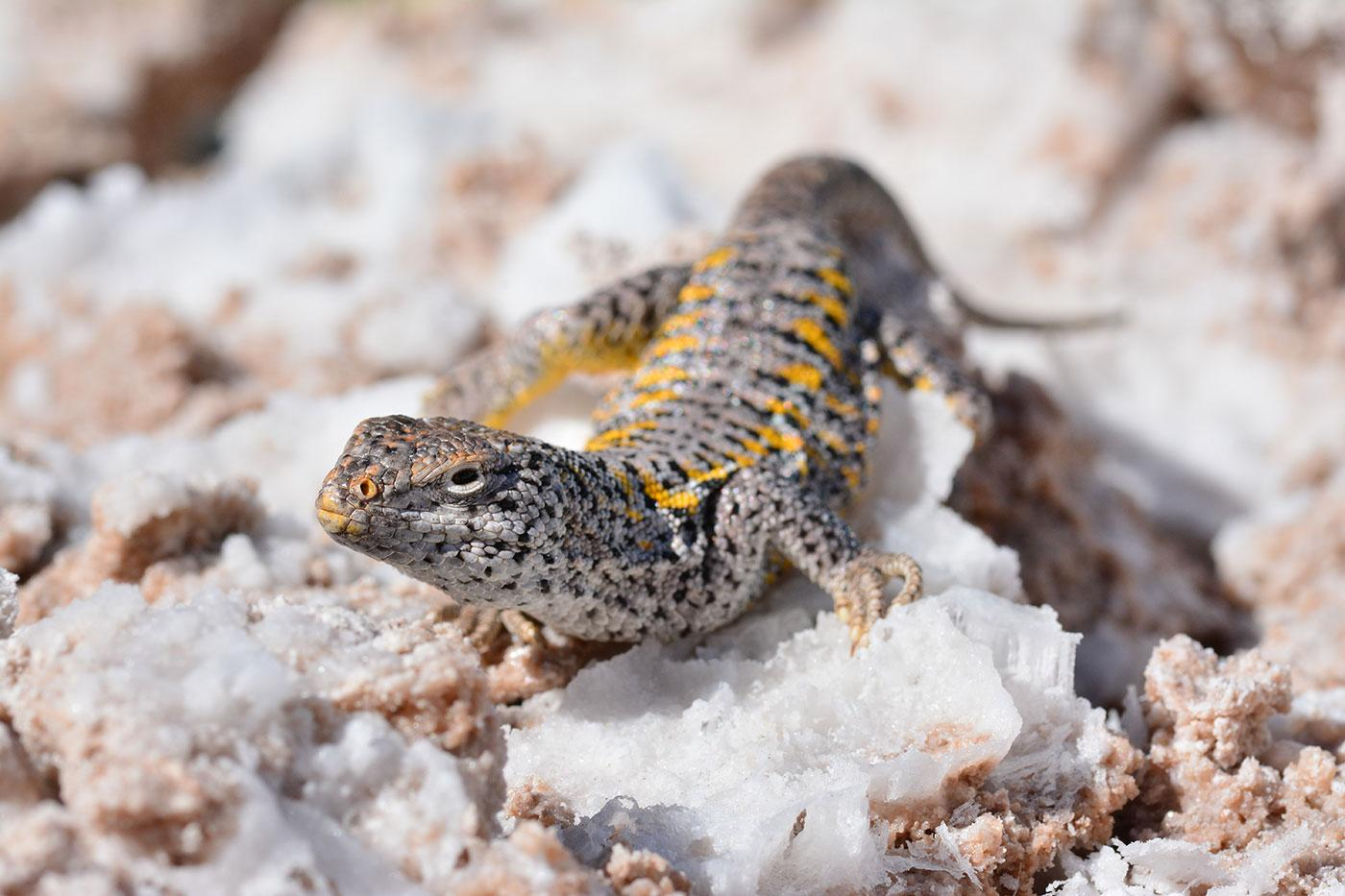 A Salt Flat Lizard surveys the scene on the high altitude altiplano of Northern Chile. Photo: BBC/Matthew Wright
