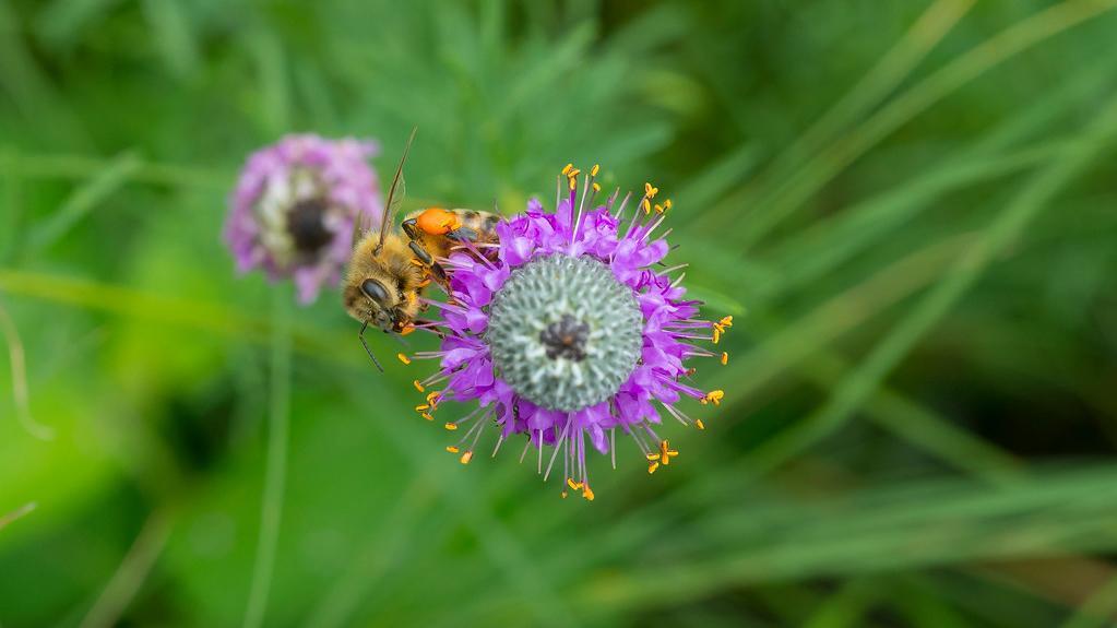 A honey bee. Photo: Courtesy Chicago Botanic Garden