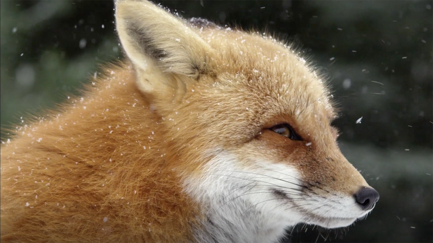 Fox Tales from Nature