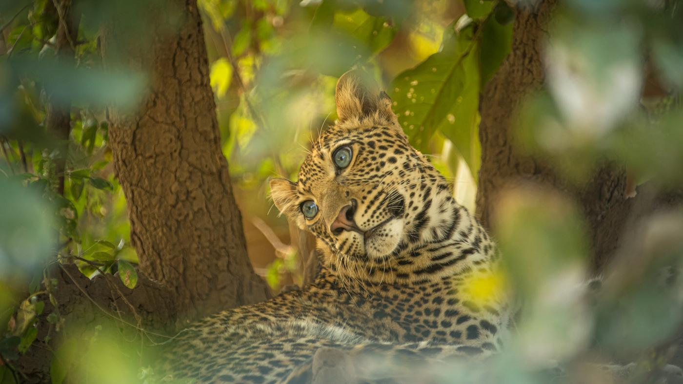 Young cub Makumbi looks longingly at his mother in Zambia, Africa. Photo: Courtesy of Will Steenkamp/Into Nature Productions