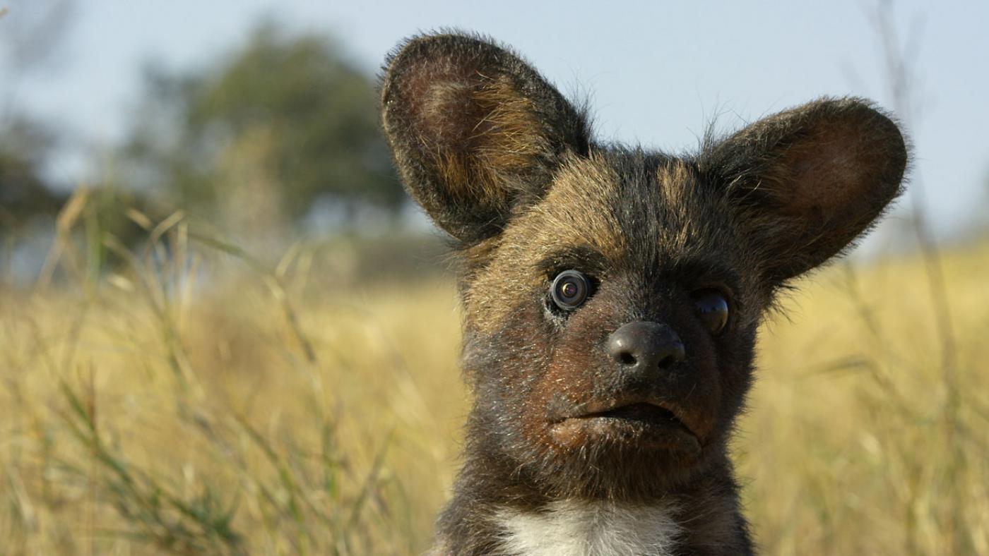 Spy Wild Dog Pup in Botswana. (Courtesy of Richard Jones/© John Downer Productions)