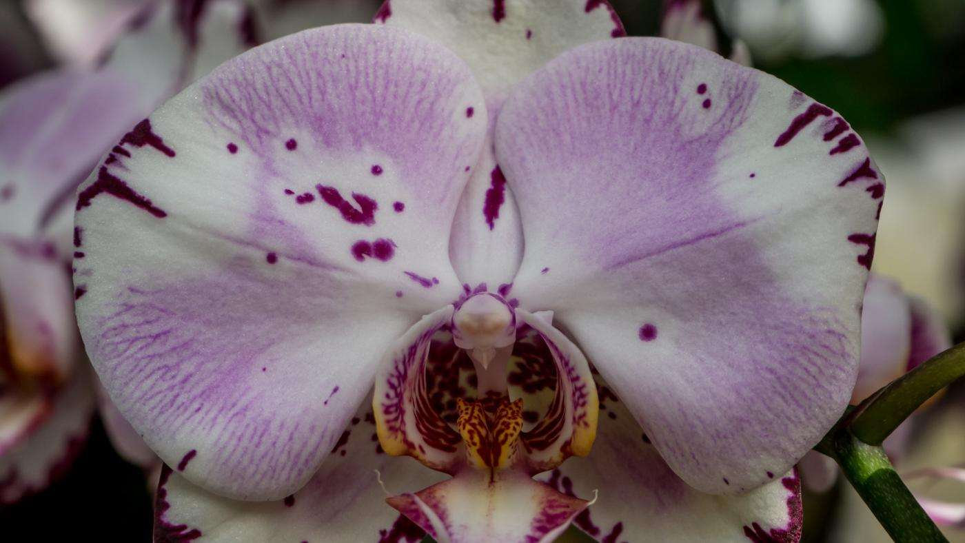 Chicago Botanic Garden's Orchid Show. Photo: Chicago Botanic Garden