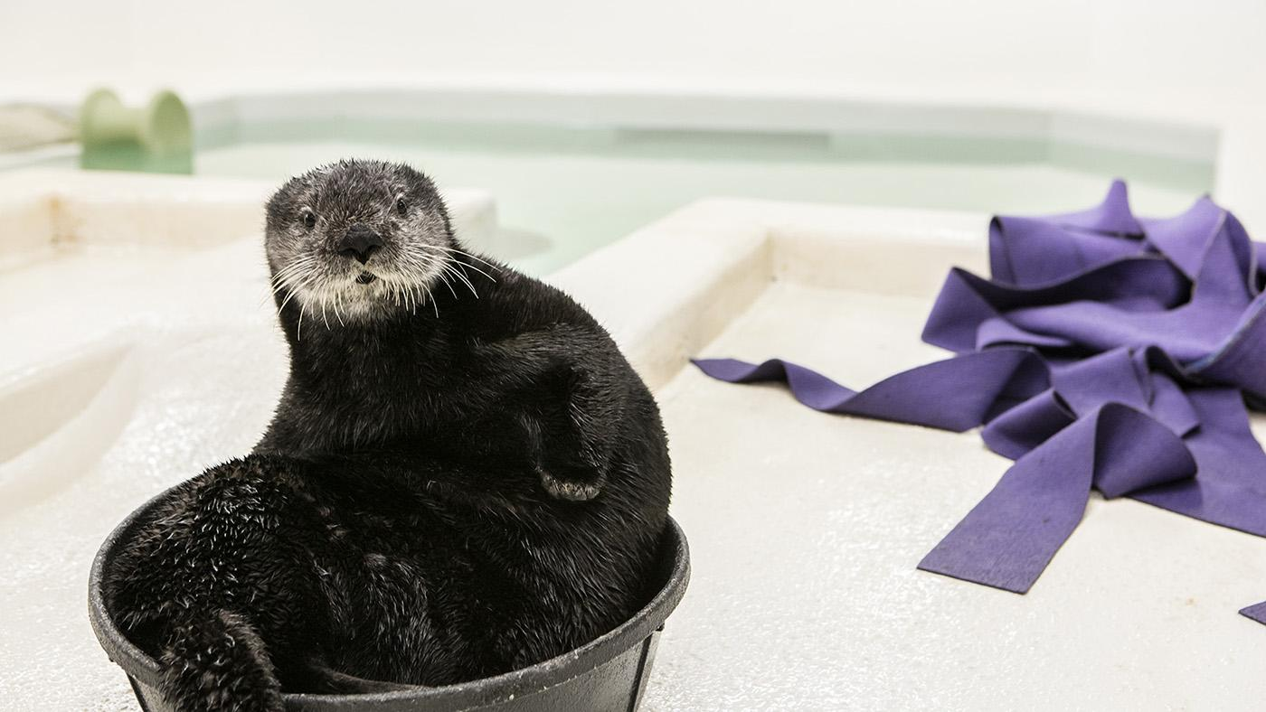 Luna, a rescued sea otter pup at Shedd Aquarium. Photo: ©Shedd Aquarium