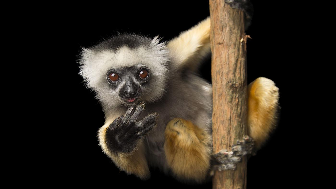 A critically endangered Diademed sifaka (Propithecus diadema) at Lemuria Land in Madagascar. Photo: Joel Sartore Photography Inc.