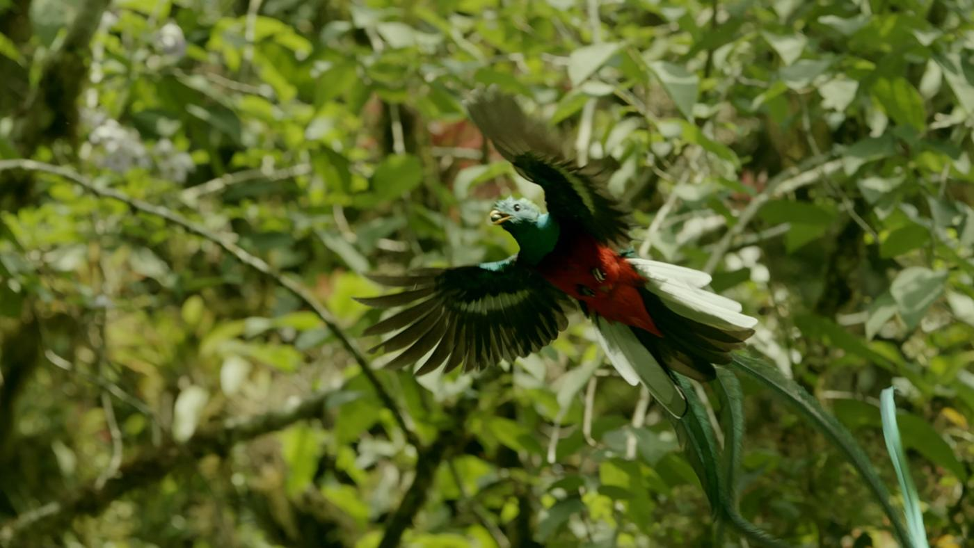 A Resplendent quetzal (Pharmachrus mocinno) male in flight. El Triunfo Biosphere Reserve, Chiapas, Mexico. Photo: BBC NHU 2016