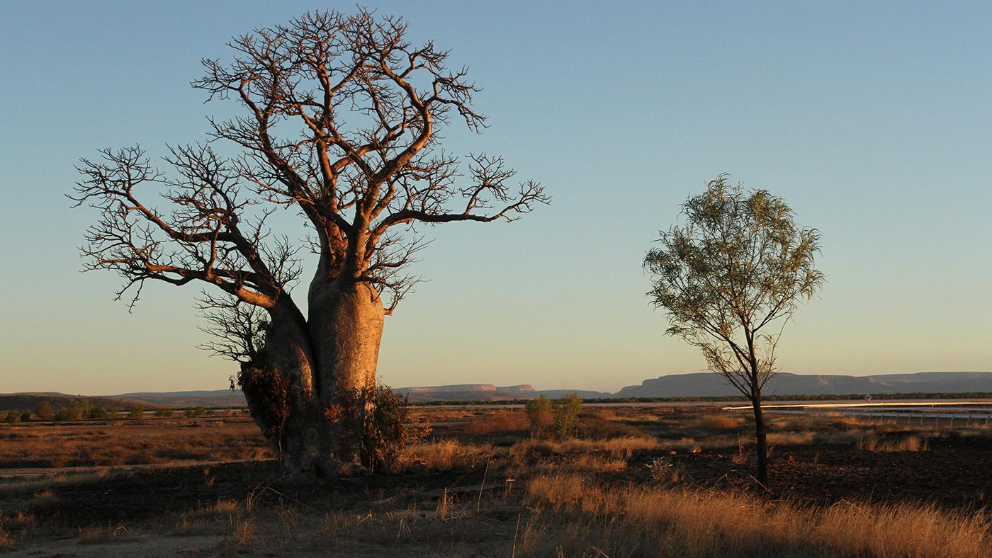 A boab tree. Photo: Northern Pictures