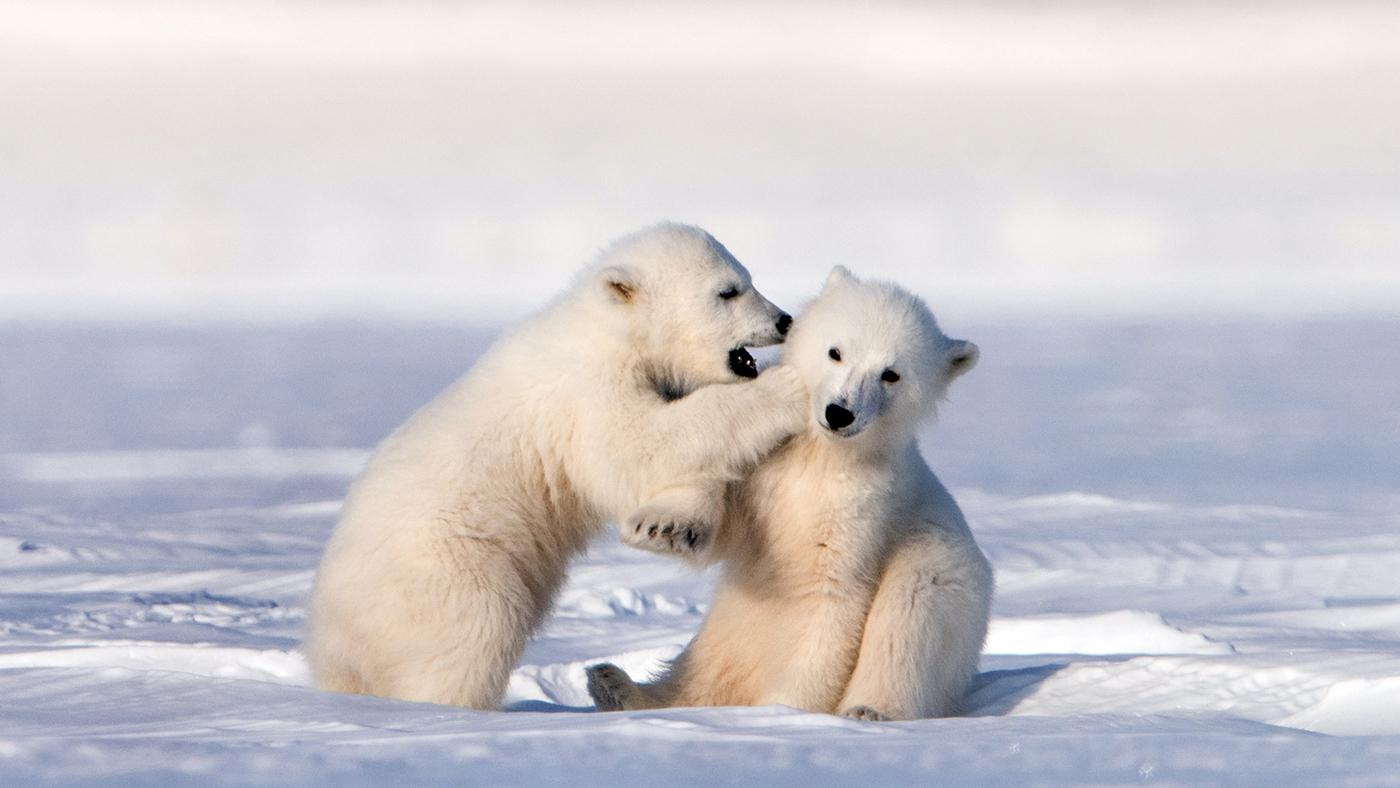 Polar bear cubs playing together. Svalbard Islands. Photo: Roie Galitz / © John Downer Productions