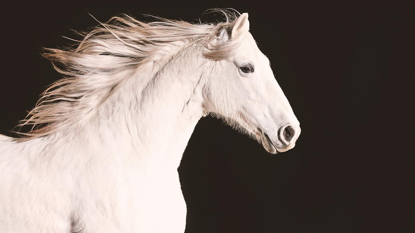 A white Andalusian horse. Photo: Aaron Munson/Handful of Films