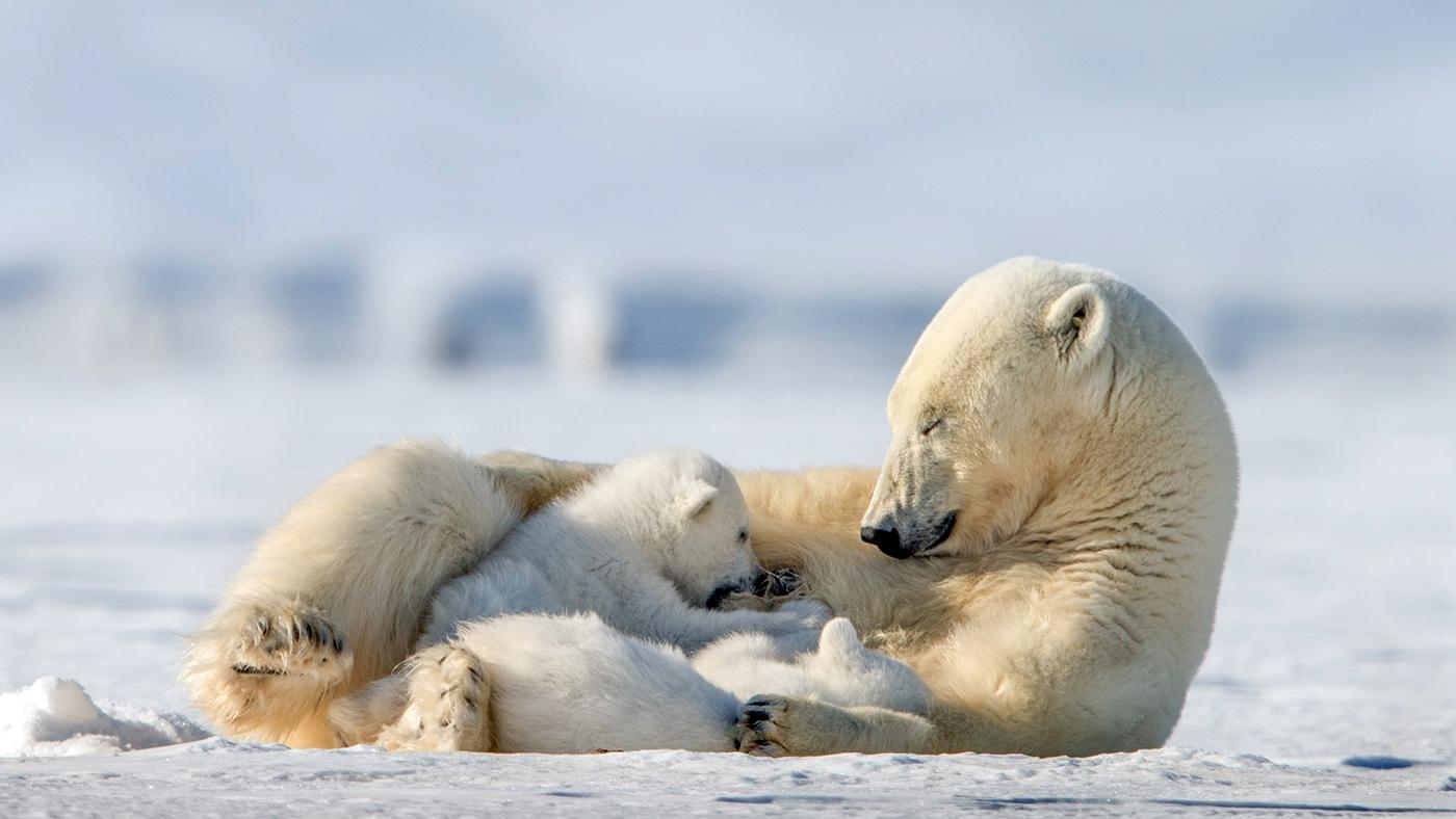 Mother polar bear nursing her cubs. Photo: Roie Galitz / © John Downer Productions