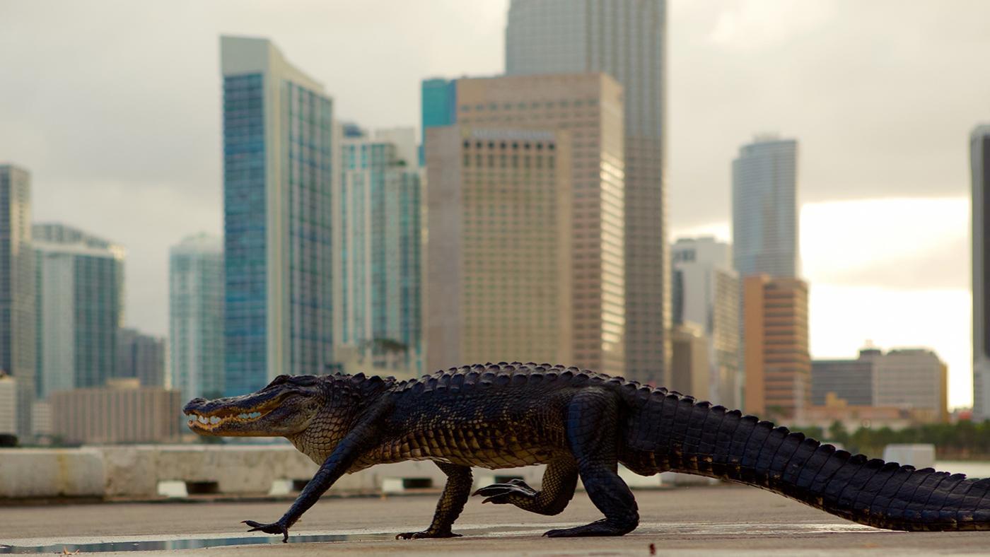 An alligator in a city in Wild Metropolis