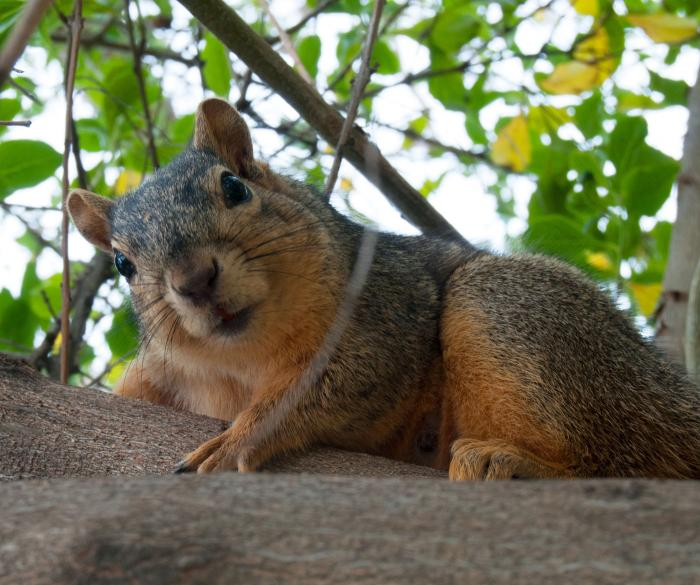 Fox squirrels in Chicago prefer more affordable neighborhoods than grey squirrels. (Toadberry / Wikicommons)