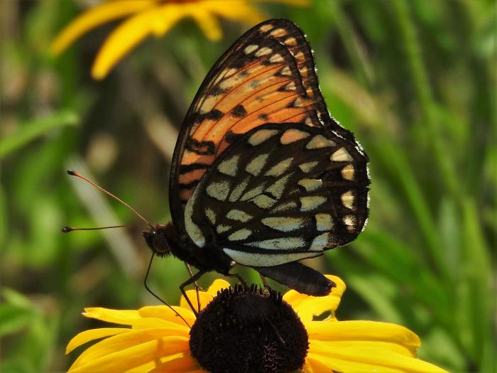 The Regal Fritillary butterfly, which Taron and the Nature Museum are working to sav