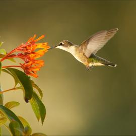 Ruby-throated hummingbird (Archilochus colubris) seems to stop in mid-air as it approaches a flower. Corpus Christi, TX. Photo: Ann Johnson Prum/ © THIRTEEN Productions LLC