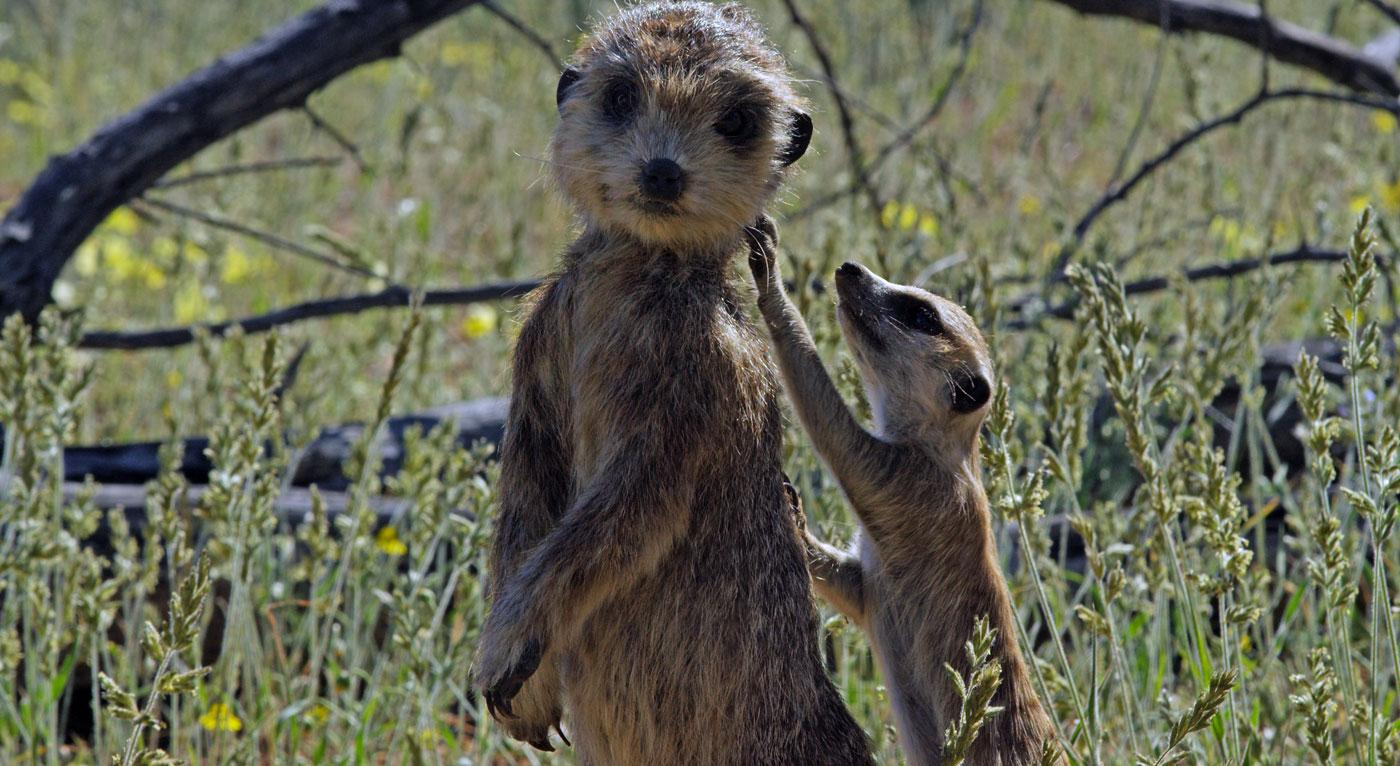 "The spy meerkat was ""anointed"" with droppings in order to give it a familiar scent. (Courtesy of Richard Jones/© John Downer Productions)"