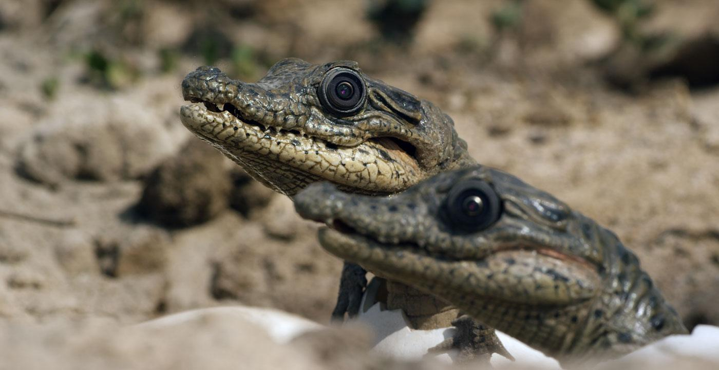 Spy crocodiles. (Courtesy of Michael W. Richards/© John Downer Productions)