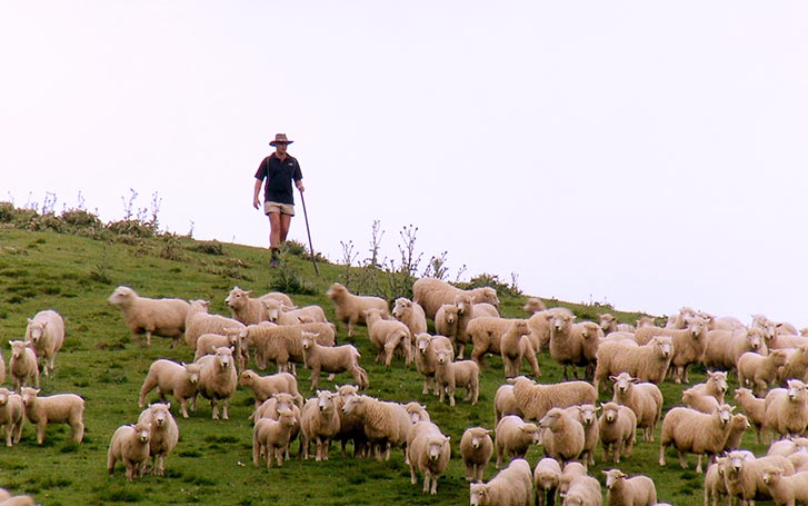 Sheep on a hill with a New Zealand shepherd